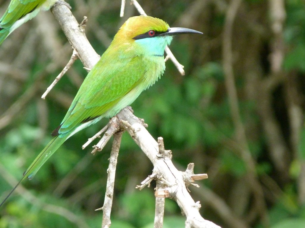 Colourful bee eater. They are small but because of their colours they are quite easy to spot.