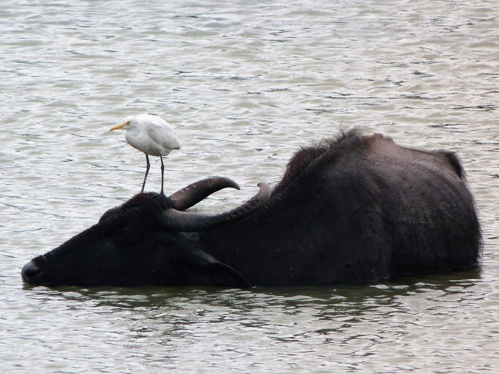 Egret hitching a ride on a buffalo