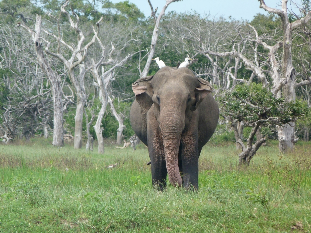 Egrets hitching a ride on an elephant