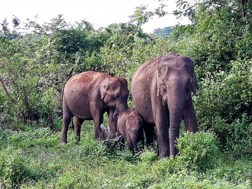 There are many small groups of elephants around the park and they are very easy to spot.
