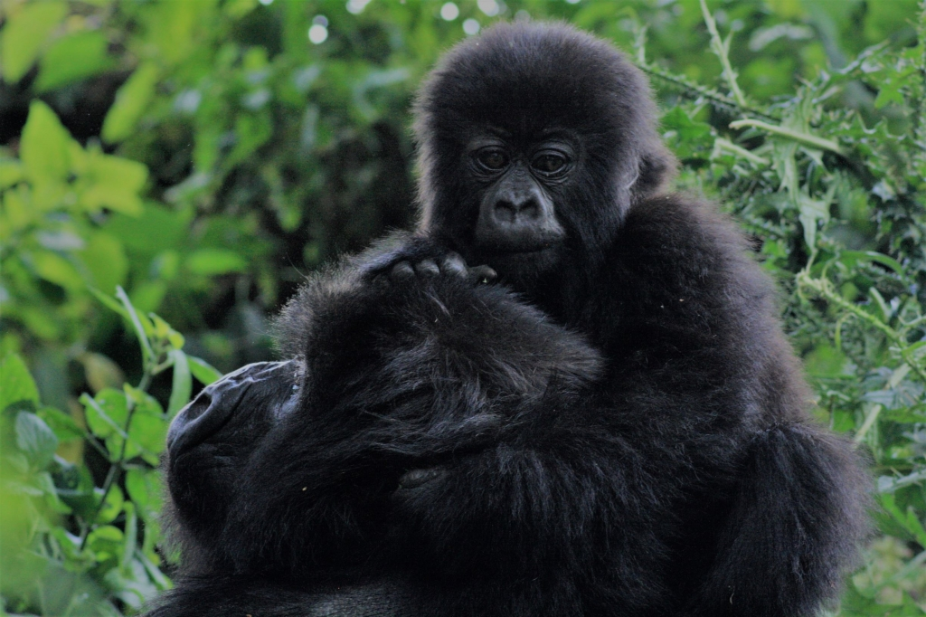 Getting up close and personal with a family of gorillas in Rwanda