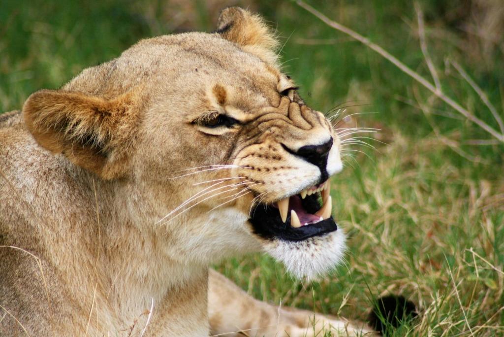 Lion in Serengeti