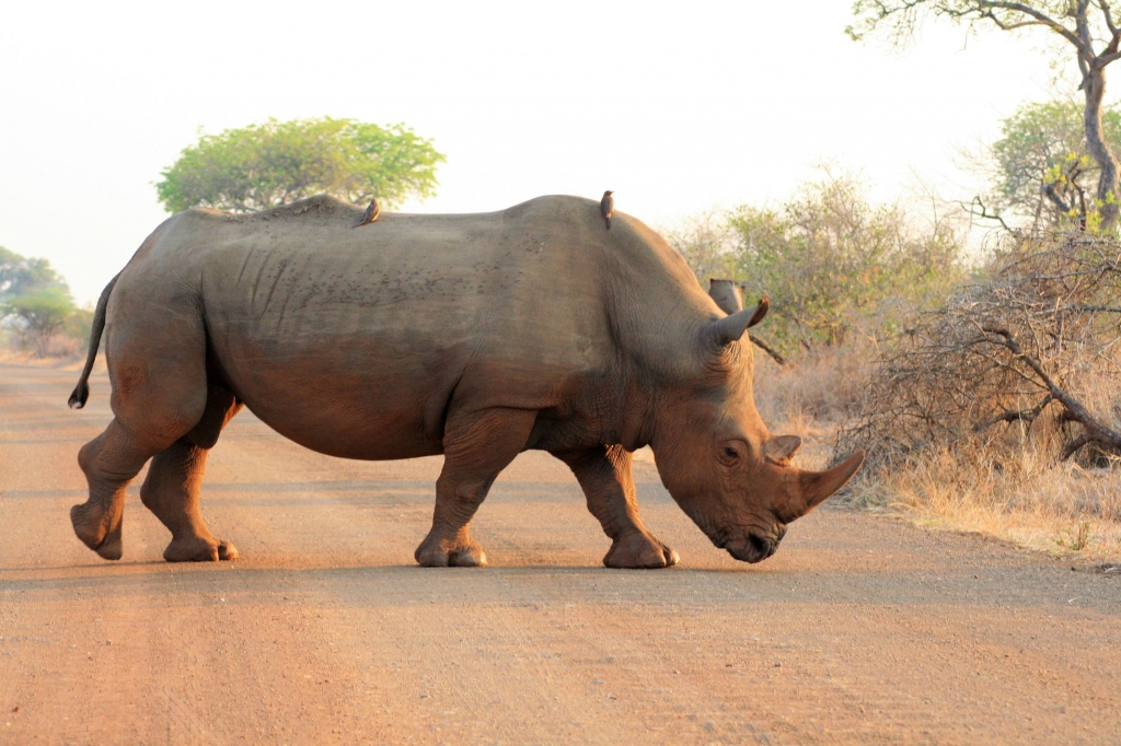 Rhino in the Kruger
