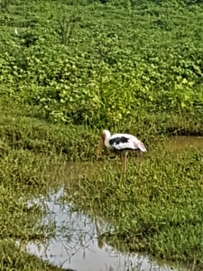 A stork - one of the many aquatic birds in the wetlands.