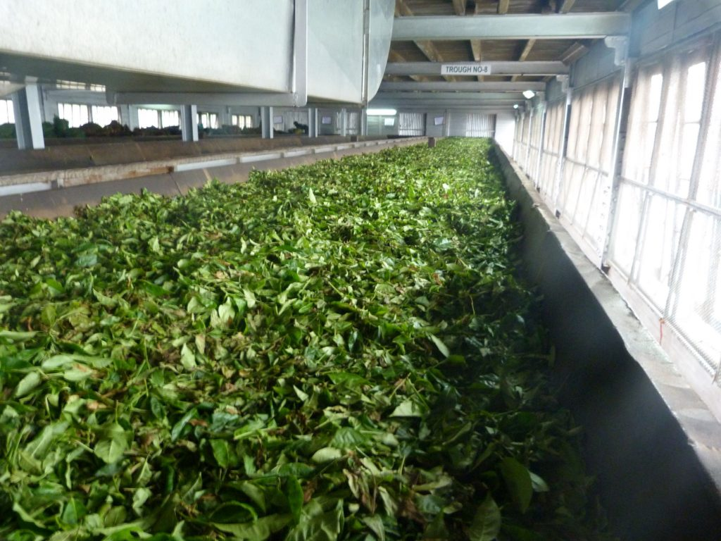 Halpewatte Tea Factory tour