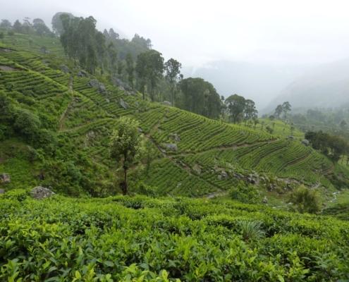 The Lowdown on Tea Plantations in Sri Lanka 2
