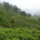 The Lowdown on Tea Plantations in Sri Lanka 6