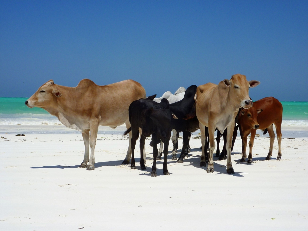 Cows hanging out on Paje beach in Zanzibar