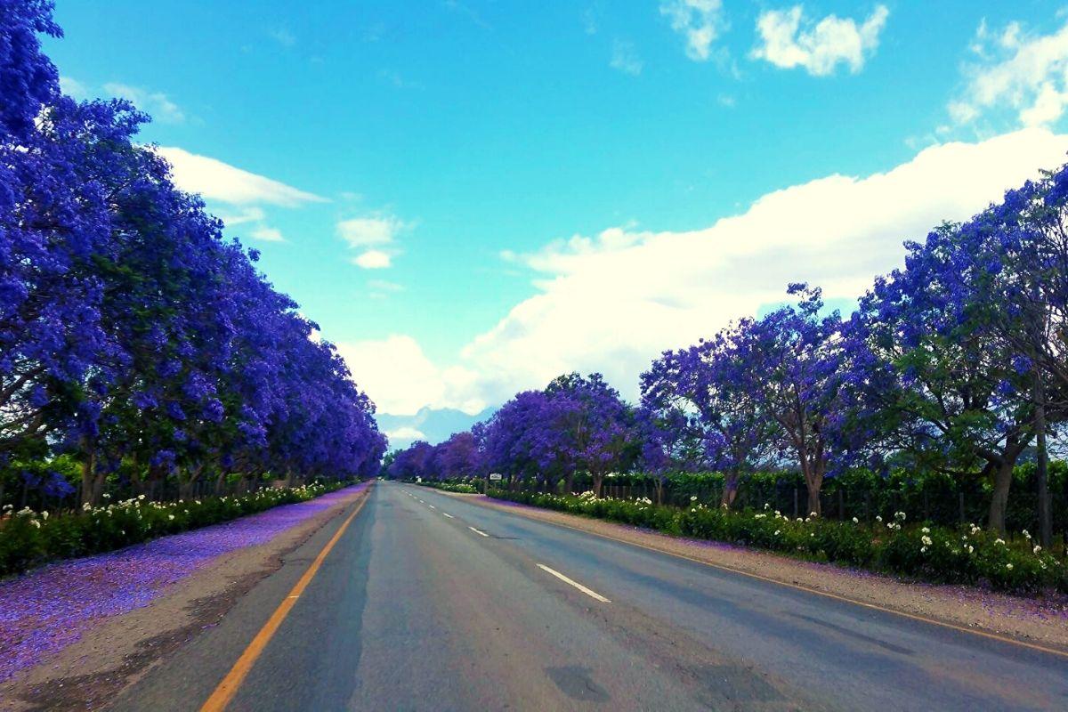 Jacaranda lined streets of Stellenbosch