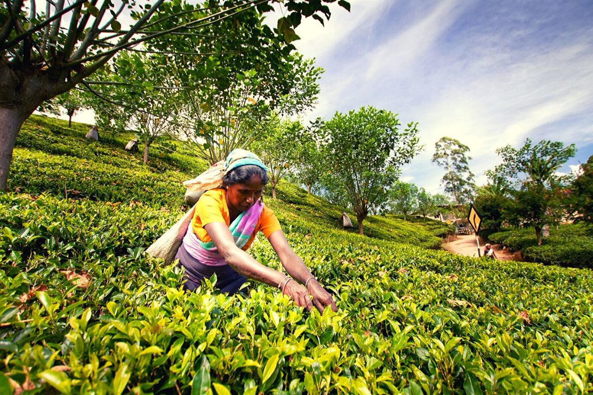 Sri Lankan tea picker at work in one of Sri Lanka's tea plantations