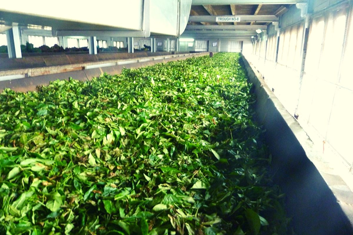 Sri Lanka tea plantation tour showing the tea leave drying process