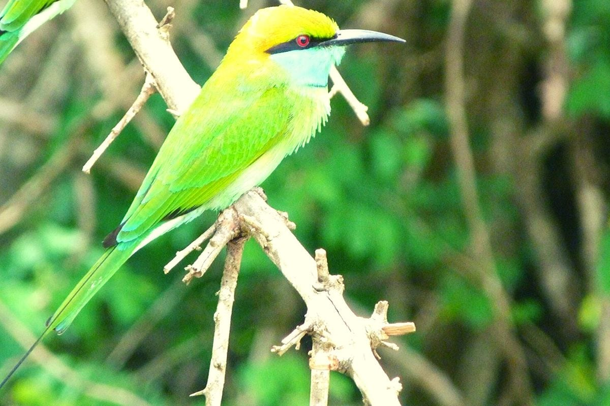 Bee eater in Udawalawe National Park