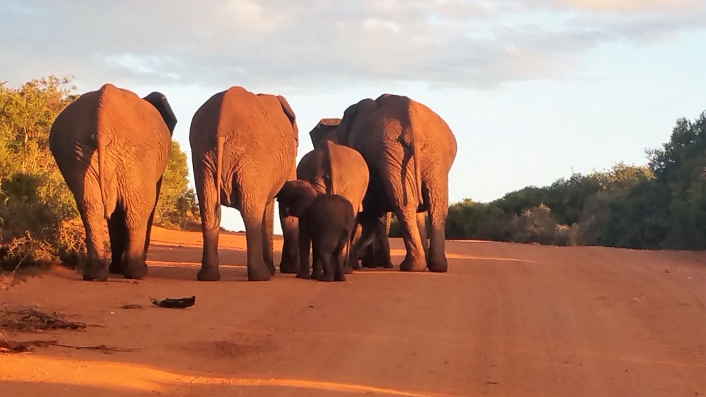Family of elephants heading to the watering hole at sunset