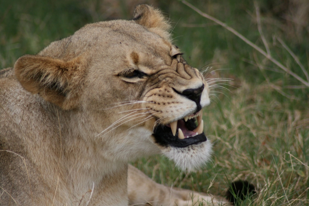 Getting up close with the lions in Shamwari