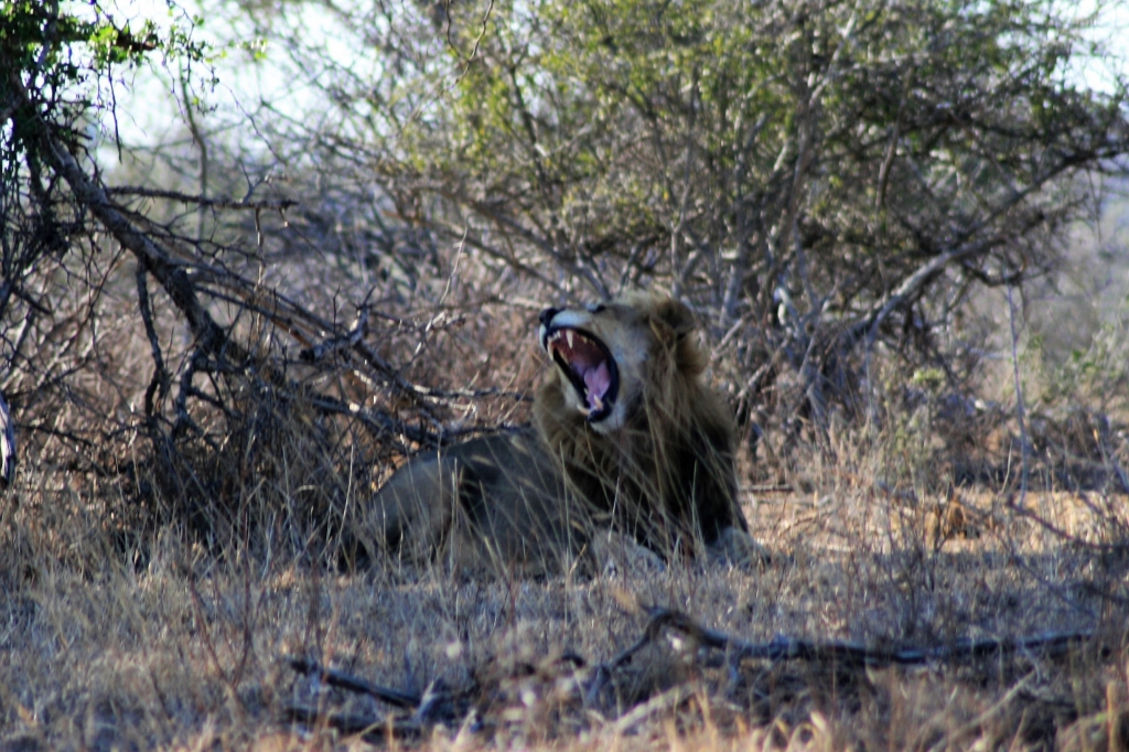 Male lion having a big afternoon yawn