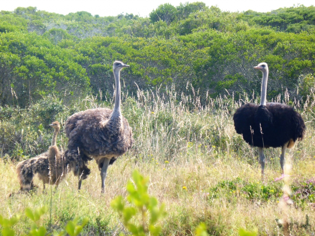 Ostriches running freely in the West Coast National Park