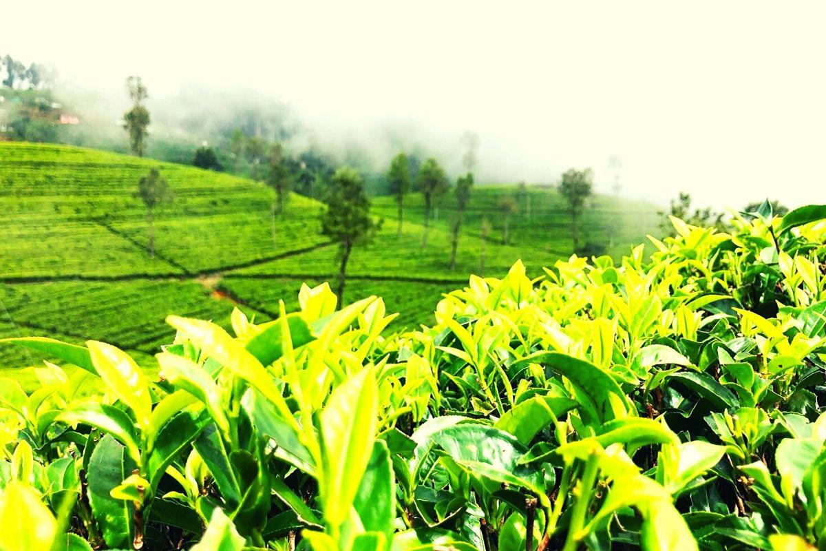 tea plantation in Sri Lanka, Haputale