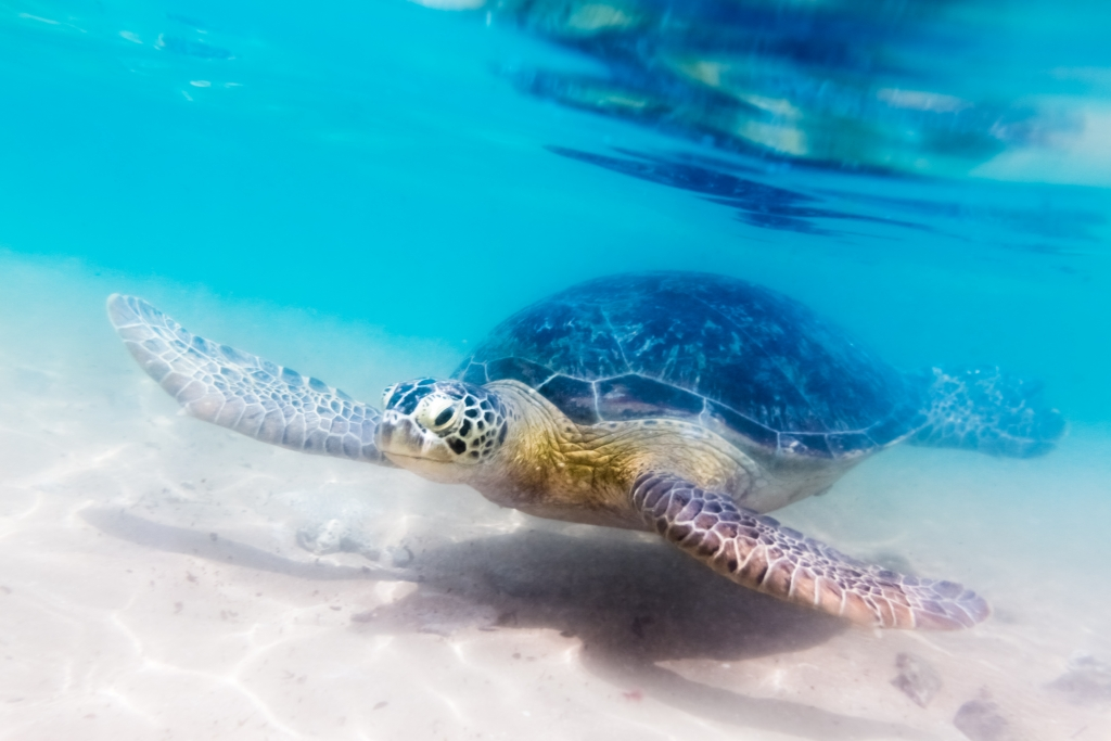 turtles at Dalawella beach