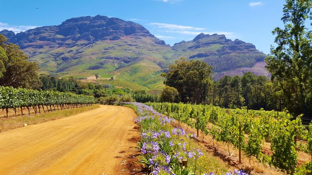 Scenery typical to the Stellenbosch wine region