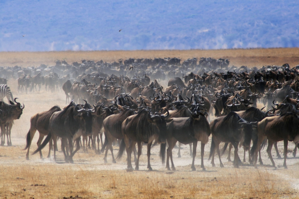 Herds of wildebeest in the Ngorogoro Crater in Tanzania