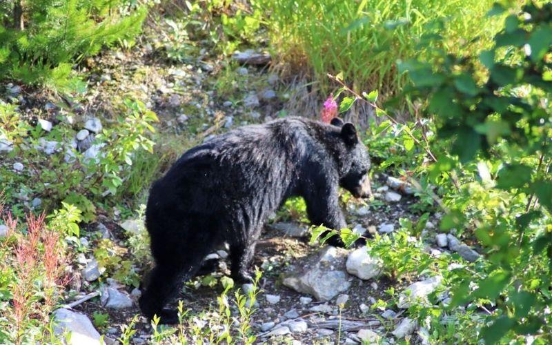 Spotting bears while visiting Lake Louise.