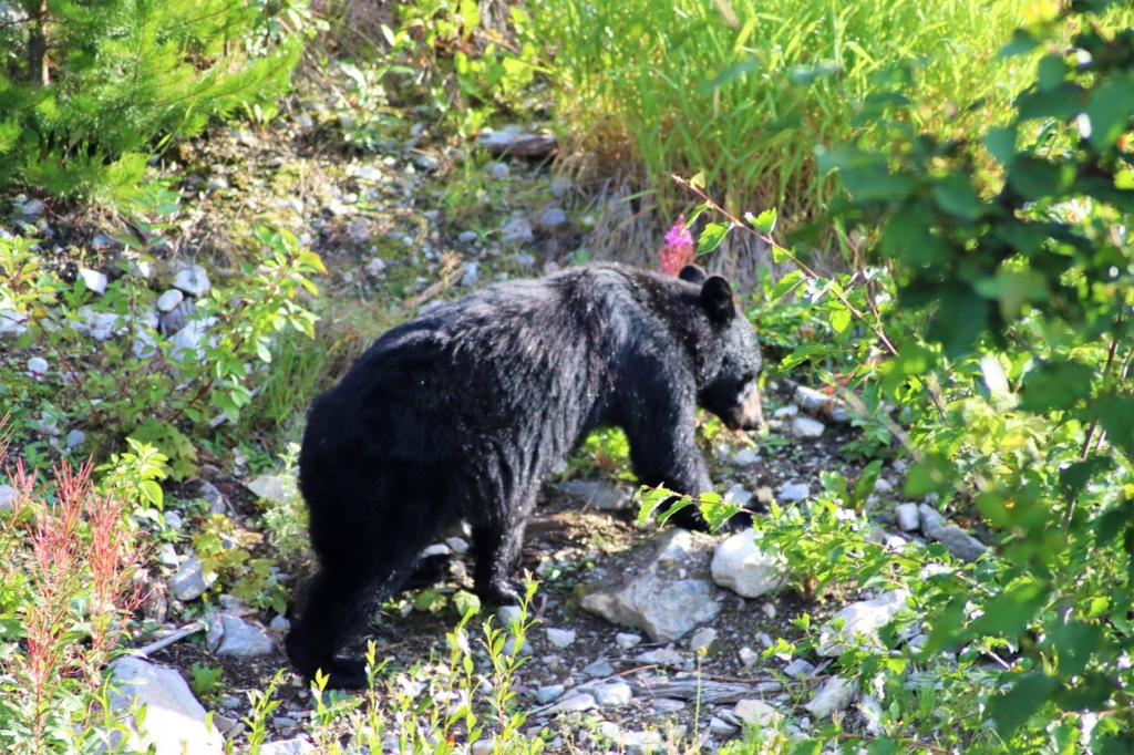 Bear sighting in Banff