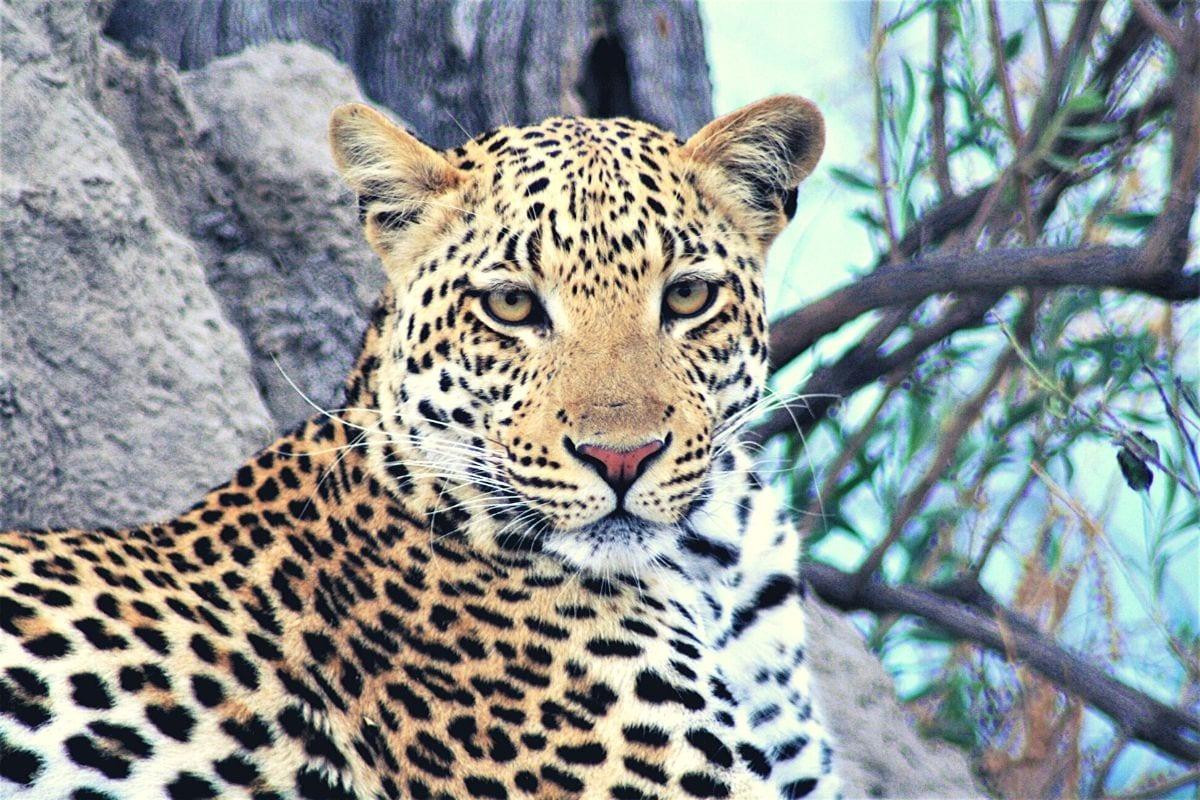 spotting leopard on safari