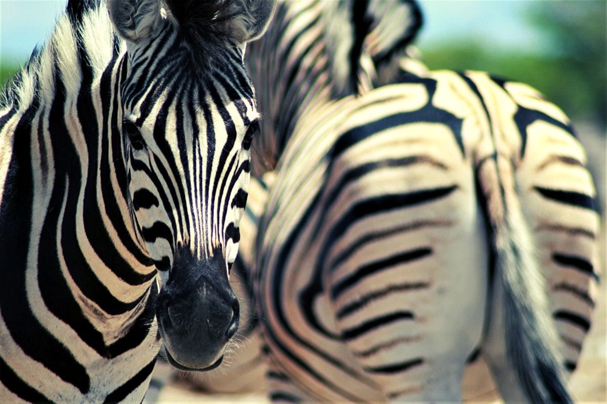 spotting zebra on safari