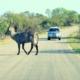 self drive safari in Kruger National Park