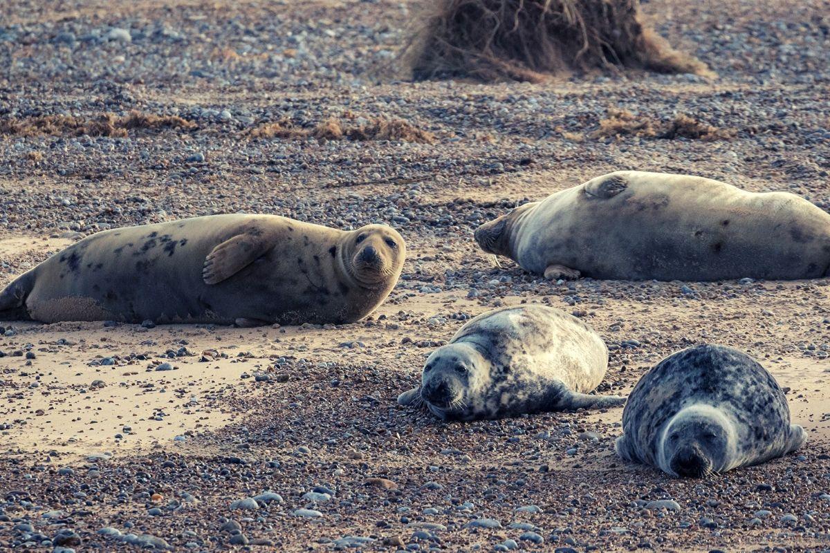 Common Grey seals on Blakeney Point in North Norfolk