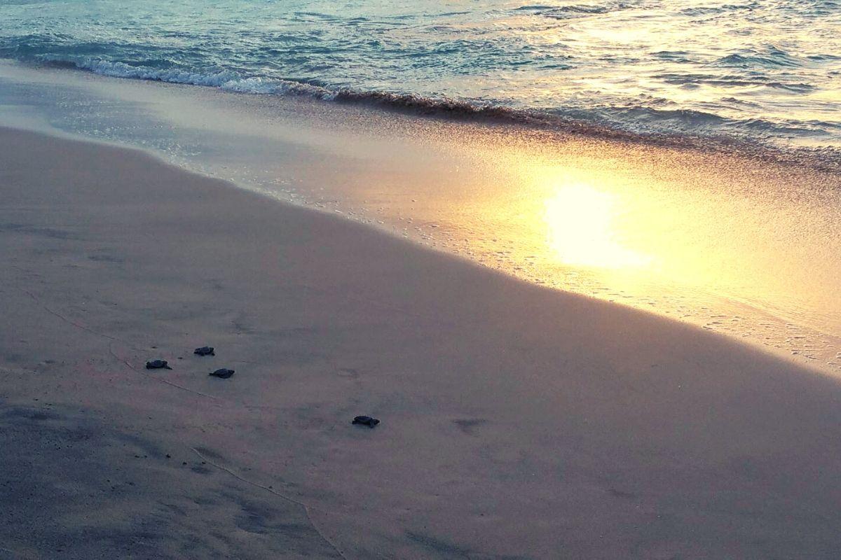 Baby turtles hatching in Sal Cape Verde