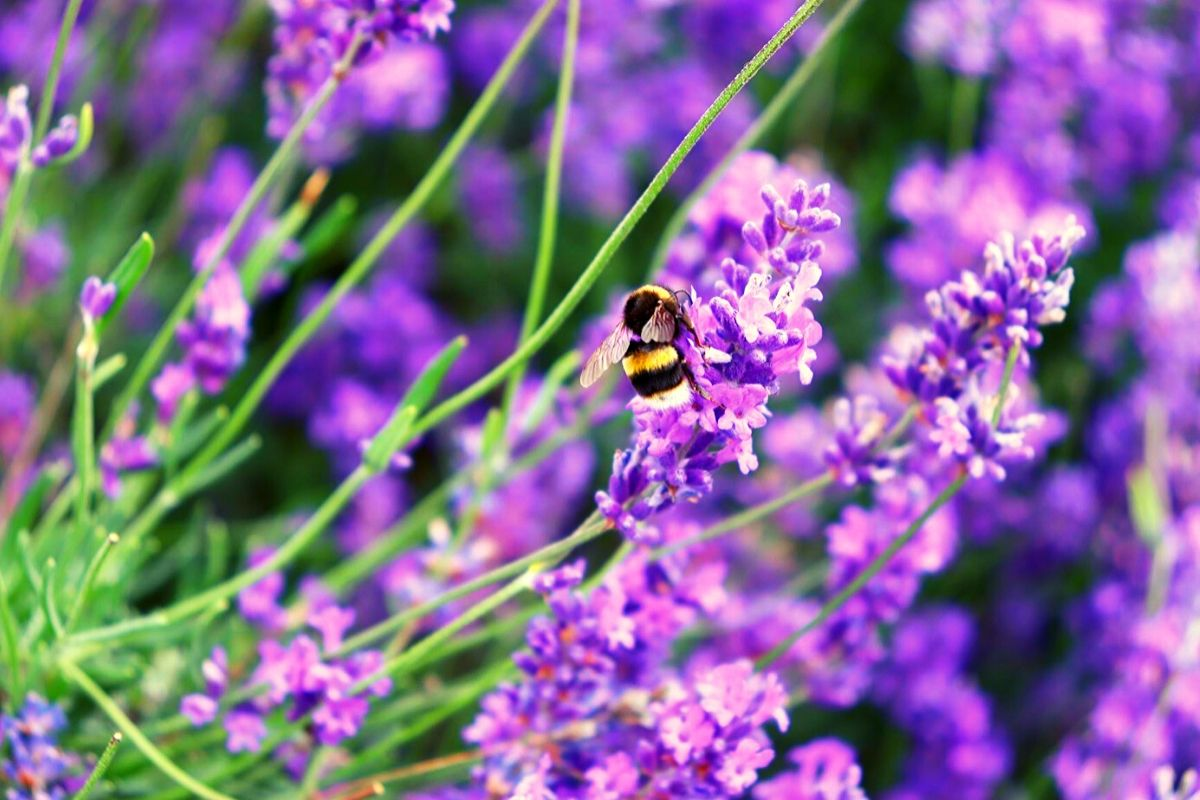 Bees on the lavender at Hitchin Lavender Farm