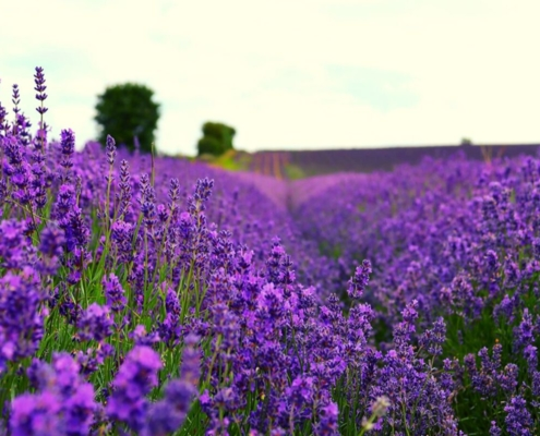 Rows of purple lavender at the Hitchin Lavender Farm