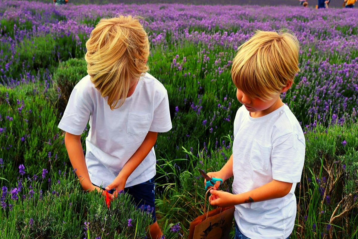 Taking lavender cuttings at the Hitchin Lavender Farm