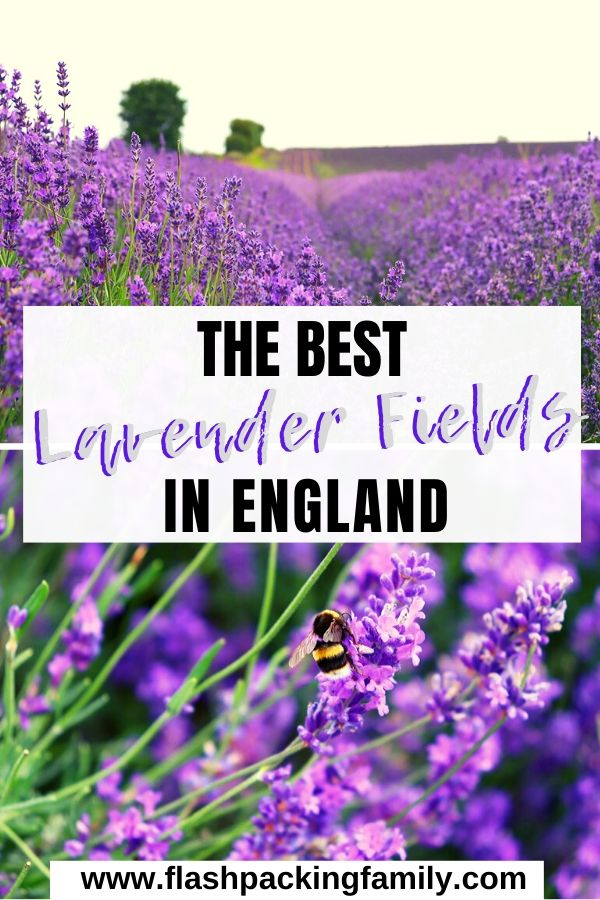 The Best Lavender Fields in England