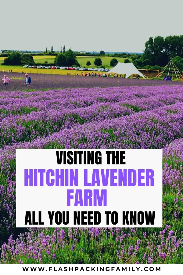 Visiting the Hitchin Lavender Farm All you need to know