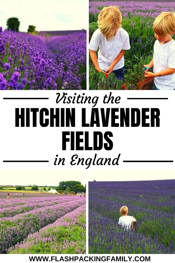 Visiting the Hitchin Lavender Fields in England