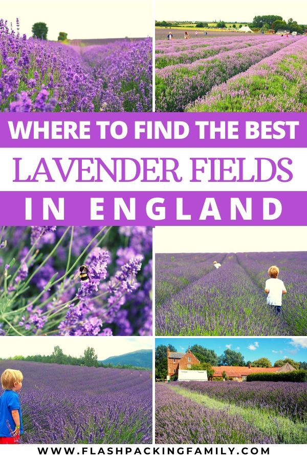 Where to find the best lavender fields in England