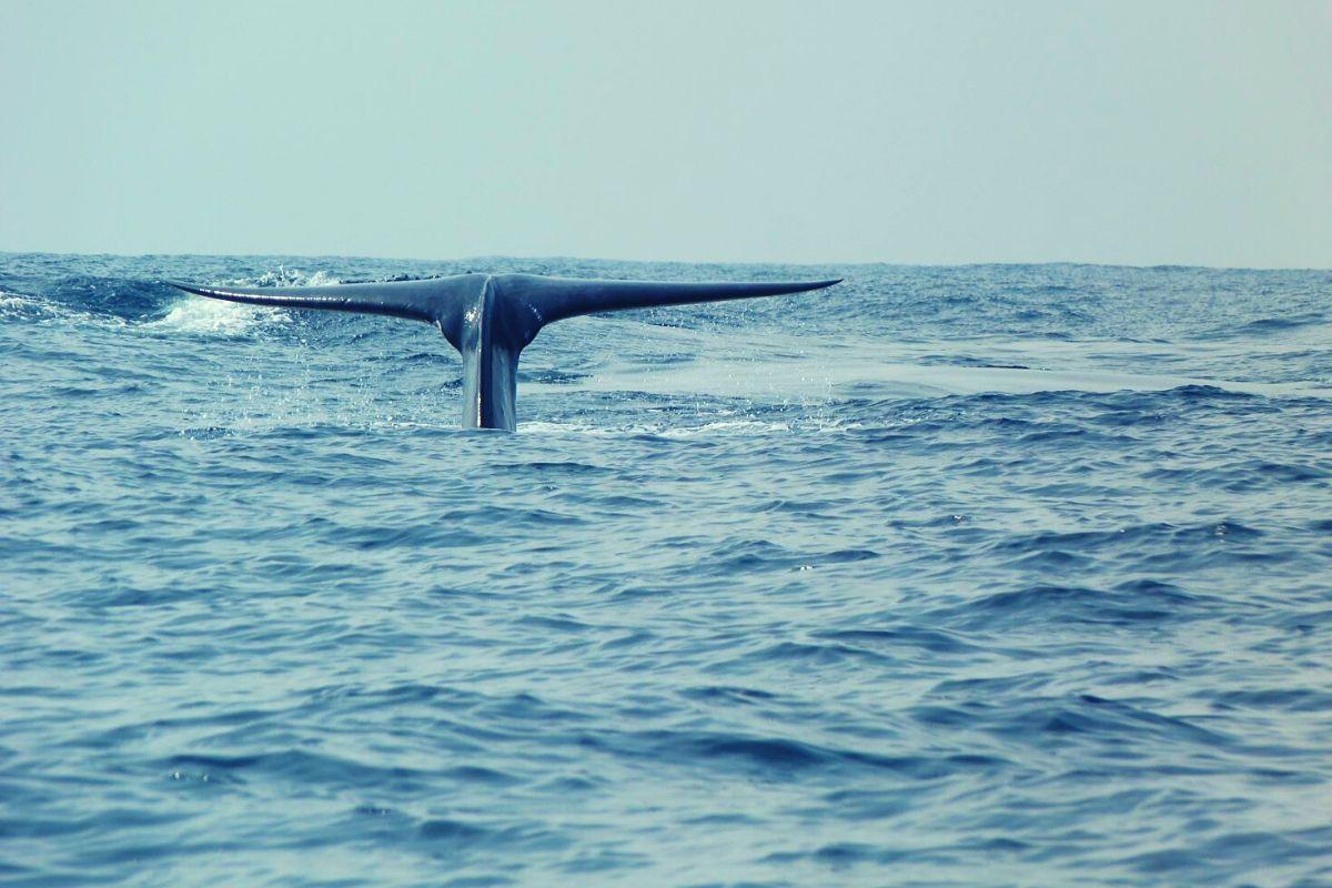 Blue Whale watching in Sri Lanka