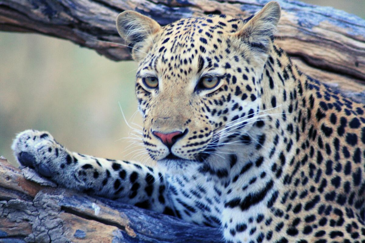 Leopard spotting on safari in Botswana