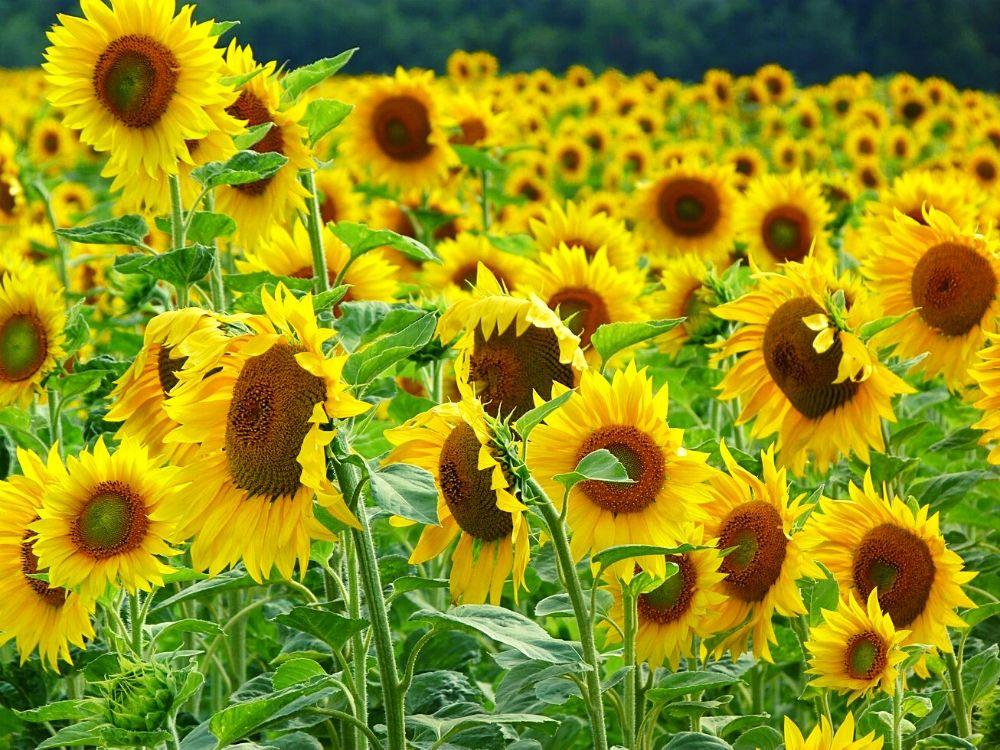 Sunflower fields near the Gorges du Verdon