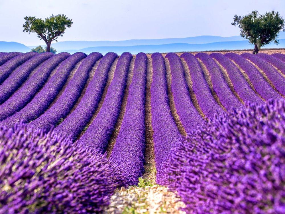 Valensole lavender fields
