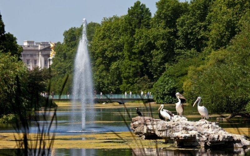 Pelicans in St James's Park in London with Buckingham Palace in background.