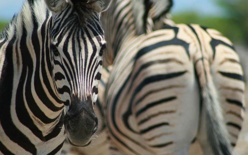 Zebra spotting on safari in South Africa