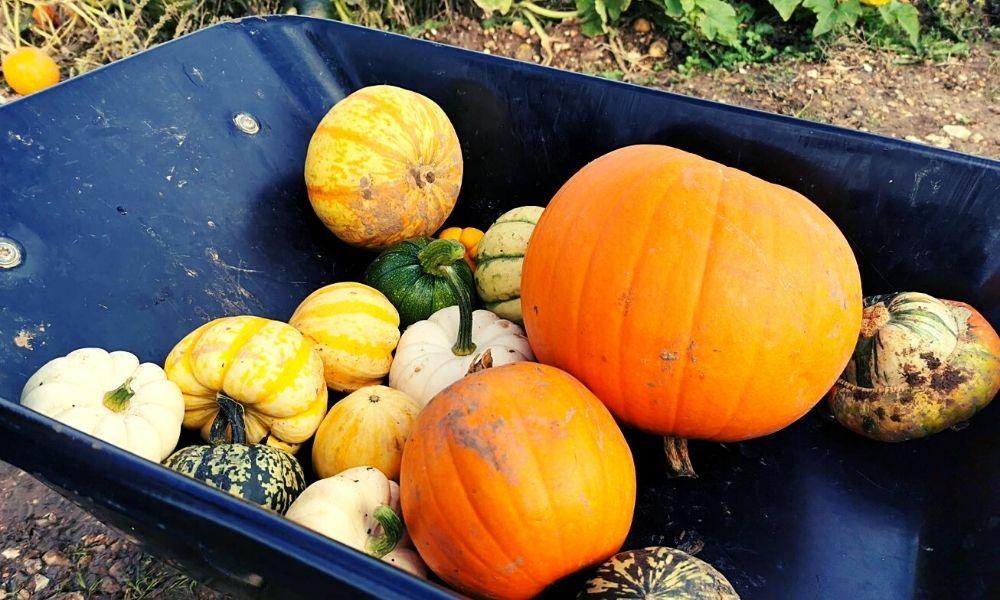 Different sized pumpkins