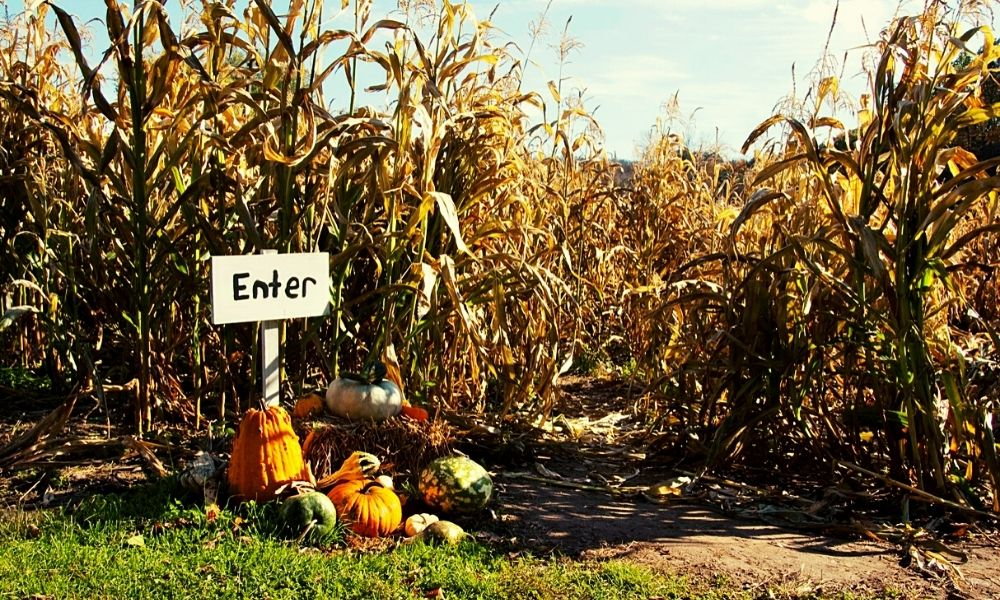 Pumpkin patches and Maize Mazes