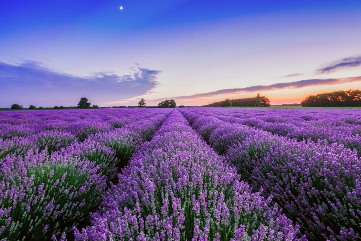 Rows of lavender at sunrise