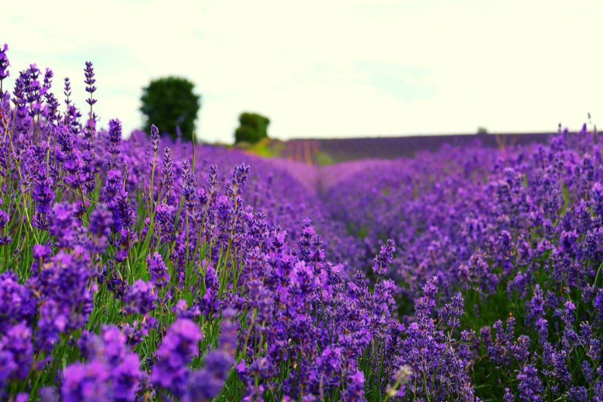 Rows of purple lavender