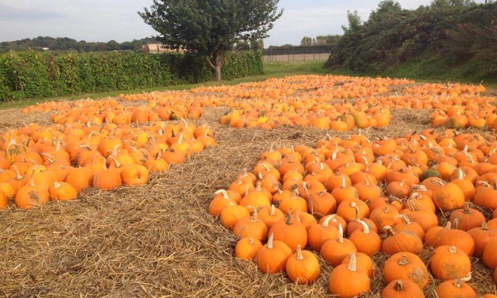 Sea of pumpkins at Stanhill Farm
