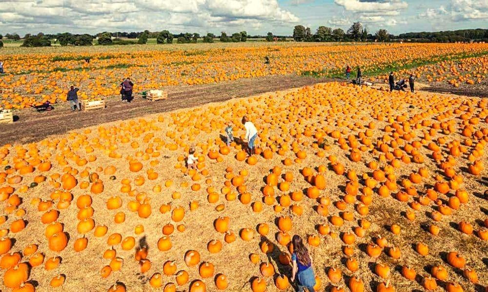 Undley Farm Pumpkin Patch